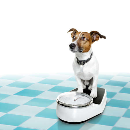 conscience: jack russell dog with guilty conscience  for overweight, and to loose weight , standing on a scale, isolated in bathroom floor