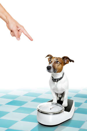 conscience: owner punishing dog with guilty conscience pointing with finger for overweight, and to loose weight , standing on a scale, isolated on white background