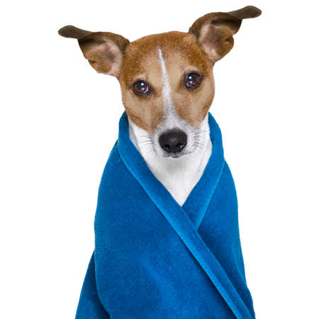 white: jack russell dog in a towel  not so amused about that , with blue colour,  having a spa or wellness treatment or is about to have a shower , isolated on white background