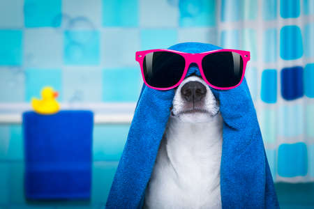 bath: jack russell dog in a bathtub not so amused about that , with blue  towel, wearing funny sunglasses or glasses having a spa or wellness treatment