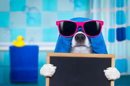 jack russell dog in a towel  not so amused about that , with blue color,  having a spa or wellness treatment or is about to have a shower , holding a placard or banner  blackboard in bathroom or bath
