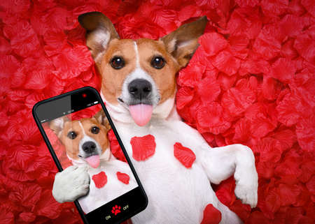Jack russell  dog looking and staring at you in love  ,while lying on bed with valentines petal roses as background, taking a selfie ,sticking out tongue Stock Photo