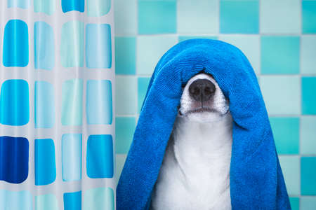 moisturizers: jack russell dog in a bathtub not so amused about that , with blue  towel, behind shower curtain, having a spa or wellness treatment