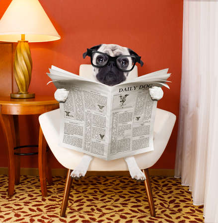 paw smart: pug dog reading newspaper on a chair or  sofa , couch, or lounger , in living room , table and reading light to the side Stock Photo