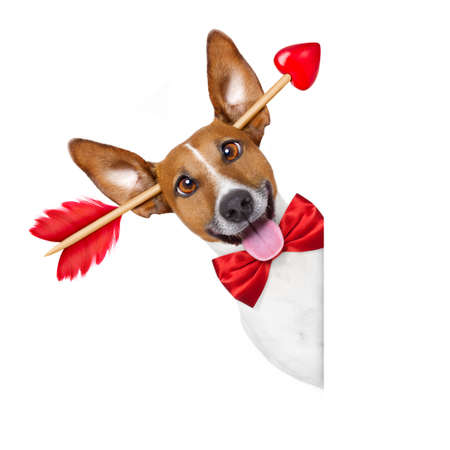 happy holidays: jack russell dog crazy and silly in love   on valentines day ,isolated on white background , arrow through head , behind white blank banner or placard