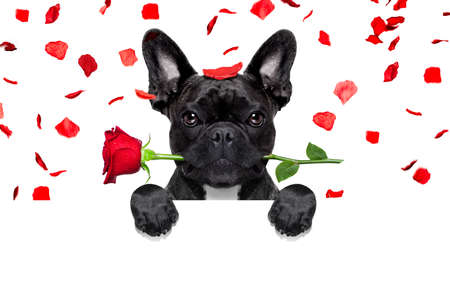 a placard: french bulldog dog crazy and silly in love   on valentines day , rose petals flying and falling as background, isolated on white ,rose  in mouth, behind banner or placard