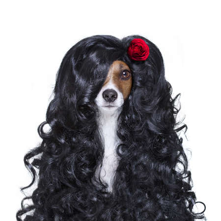 hand: jack russell dog  for valentines day in love with rose in hair  with black long curly hair  wig , looking crazy , silly, funny dumb, isolated on white background