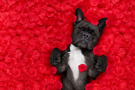 french bulldog dog lying in bed full of red rose flower petals as background  , in love on valentines day and sleeping