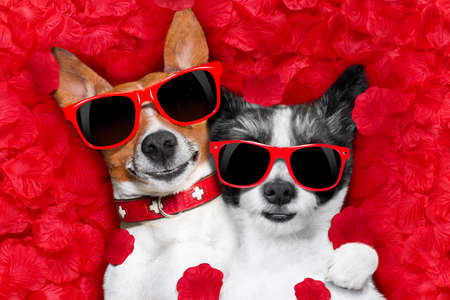 comfortable: couple of two  dogs lying in bed full of red rose flower petals as background  , in love on valentines day, cuddle and embracing a hug