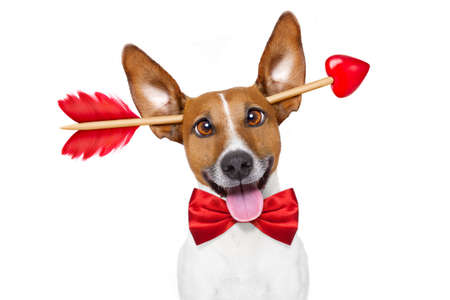 love and friendship: jack russell dog crazy and silly in love   on valentines day , isolated on white background , arrow through head