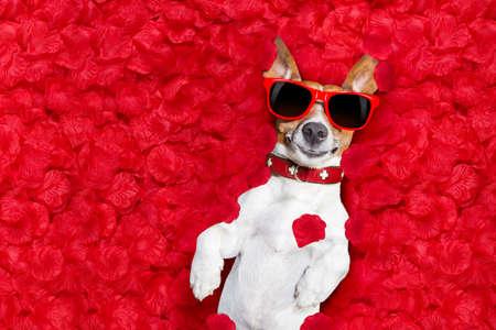 Jack Russell hond liggend in bed vol rode rozen bloemblaadjes als achtergrond, verliefd op Valentijnsdag