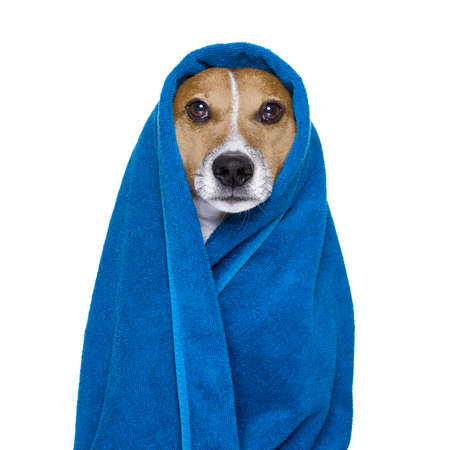 dog grooming: jack russell dog in a towel  not so amused about that , with blue colour,  having a spa or wellness treatment or is about to have a shower , isolated on white background