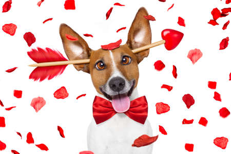 air: jack russell dog crazy and silly in love   on valentines day , rose petals flying and falling as background, isolated on white