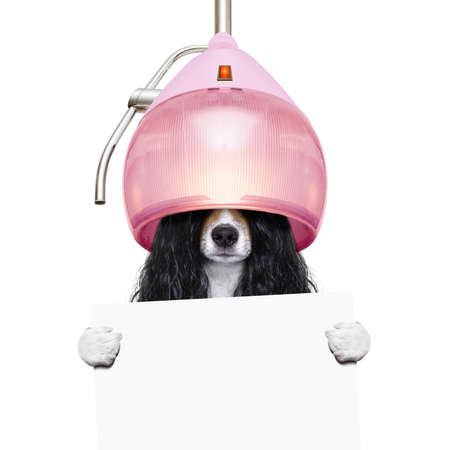 dog  at the hairdressers with long curly hair wig  under the drying hood , isolated on white background holding white placard