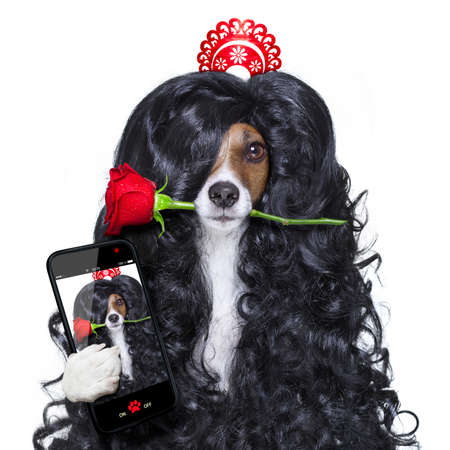 photo: jack russell dog  for valentines day in love with rose in hair  and  mouth with black long curly hair  wig , looking crazy , silly, funny dumb, isolated on white background , taking selfie with smartphone or tablet Stock Photo