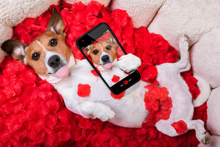 animal lover: Jack russell  dog looking and staring at you in love  ,while lying on bed with valentines petal roses as background, taking a selfie ,sticking out tongue Stock Photo