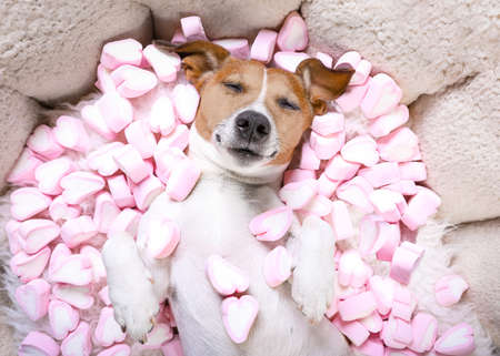 Jack russell  dog sleeping while lying on bed   in love, marshmallows as a background
