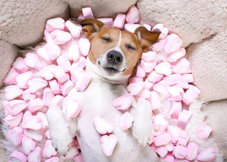 Jack Russell hond slapen terwijl hij op bed in de liefde ligt, marshmallows als achtergrond