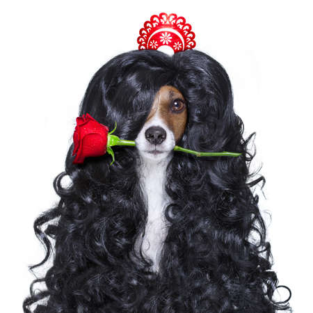 spaniard: jack russell dog  for valentines day in love with rose in hair and mouth, with black long curly hair  wig , looking crazy , silly, funny dumb, isolated on white background Stock Photo