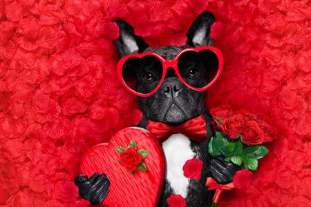 Valentijns Franse bulldog hond in liefde houden een cupids pijl met mond, draagt zonnebril, liggend op bed van rode bloemblaadjes, met cadeau doos en rozen