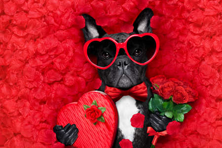 valentines french bulldog dog in love holding a cupids arrow with mouth ,wearing sunglasses,lying on bed of red flower petals , with gift box and roses Foto de archivo
