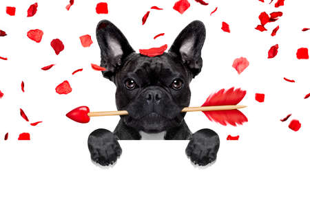 french bulldog dog crazy and silly in love   on valentines day , rose petals flying and falling as background, isolated on white ,arrow  in mouth, behind banner or placard