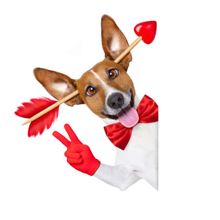 happy holidays: jack russell dog crazy and silly in love   on valentines day , isolated on white background , arrow through head , behind white blank banner or placard , victory or peace fingers
