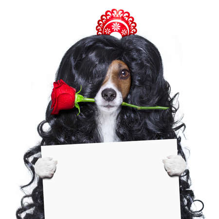 white: jack russell dog  for valentines day in love with rose in hair  with black long curly hair  wig , looking crazy , silly, funny dumb, isolated on white background , behind banner or placard