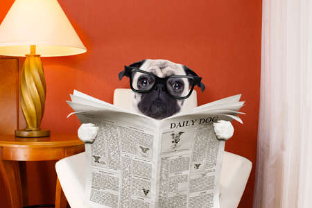 pug dog reading newspaper on a chair or  sofa , couch, or lounger , in living room , table and reading light to the side Stock Photo