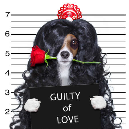 valentines crazy and silly dog with rose in mouth as a mugshot guilty of love, at the police department Stock Photo