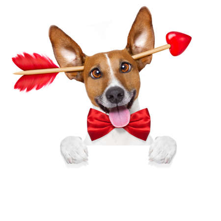 happy holidays: jack russell dog crazy and silly in love   on valentines day , isolated on white background , arrow through head