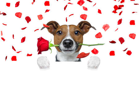 happy holidays: jack russell dog crazy and silly in love   on valentines day , rose petals flying and falling as background, isolated on white , rose  in mouth , behind banner or placard Stock Photo