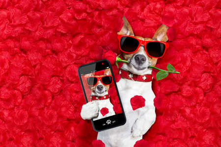 Jack russell  dog looking and staring at you in love  ,while lying on bed with valentines petal  as background, taking a selfie , rose in mouth Imagens