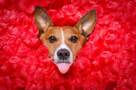 Jack russell  dog looking and staring at you   ,while lying on bed full of rose petals as background  , in love on valentines day, sticking out tongue