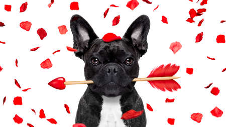 french bulldog dog crazy and silly in love   on valentines day , rose petals flying and falling as background, isolated on white ,arrow  in mouth