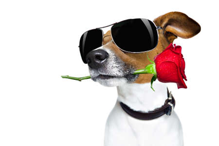 Jack russell dog in love on valentines day, rose in mouth, with sunglasses and cool gesture, isolated on white background