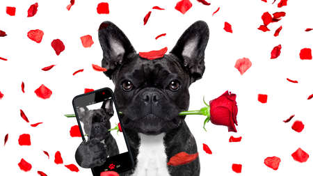 french bulldog dog crazy and silly in love   on valentines day , rose petals flying and falling as background, isolated on white ,rose  in mouth, taking a selfie with smartphone Stock Photo