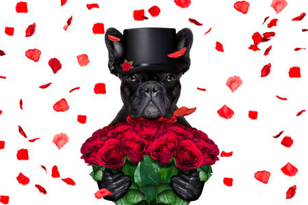 air: french bulldog dog crazy and silly in love   on valentines day , rose petals flying and falling as background, isolated on white ,bunch of roses holding Stock Photo