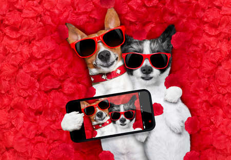 couple of two dogs lying in bed full of red rose flower petals as background , in love on valentines day, cuddle and embracing a hug, taking a selfie with smartphone