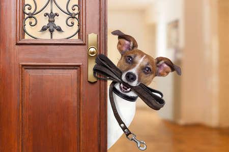 Jack chien russell attendant une porte à la maison avec la laisse en cuir dans la bouche, prêt à partir pour une promenade avec son propriétaire Banque d'images