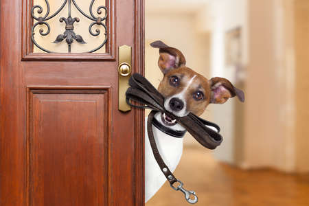 wait: Jack russell  dog  waiting a the door at home with leather leash in mouth , ready to go for a walk with his owner