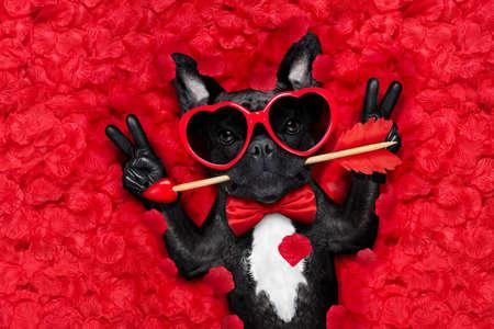 Franse bulldog hond liggend in bed vol rode rozen bloem bloemblaadjes als achtergrond, verliefd op Valentijnsdag, met pijl in de mond en vrede of overwinning vingers