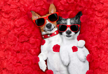 couple of two  dogs lying in bed full of red rose flower petals as background  , in love on valentines day, cuddle and embracing a hug