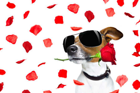 happy holidays: Jack russell dog in love on valentines day, rose in mouth, with sunglasses and cool gesture, isolated on white background full of flying red rose petals Stock Photo