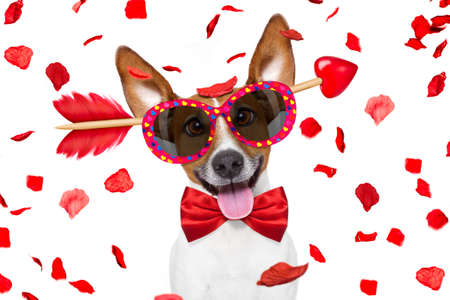 doggies: jack russell dog crazy and silly in love looking with dumb and nerd glasses on valentines day , rose petals flying and falling as background, isolated on white Stock Photo