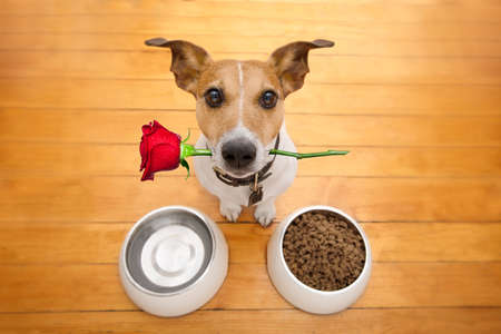 Jack russell dog in love on valentines day, rose in mouth, food and water bowls and cool gesture,isolated on wood background