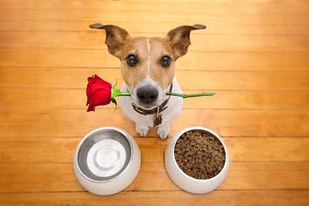 Jack Russell hond in liefde op Valentijnsdag, steeg in de mond, voedsel en water kommen en koele gebaar, geïsoleerd op houten achtergrond