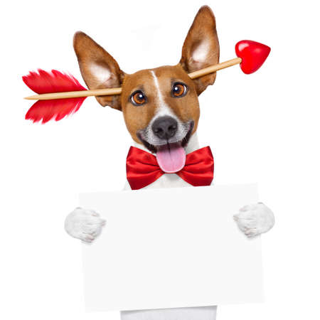 white: jack russell dog crazy and silly in love   on valentines day , isolated on white background , arrow through head
