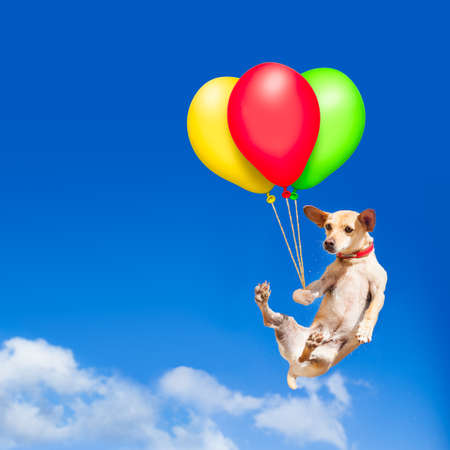 chihuahua dog hanging on balloon, flying and gliding in the sky in the air, while being cool Reklamní fotografie