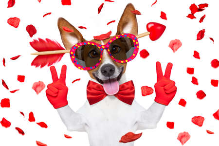 jack russell dog crazy and silly in love   on valentines day , isolated on white background , arrow through head ,  victory or peace fingers